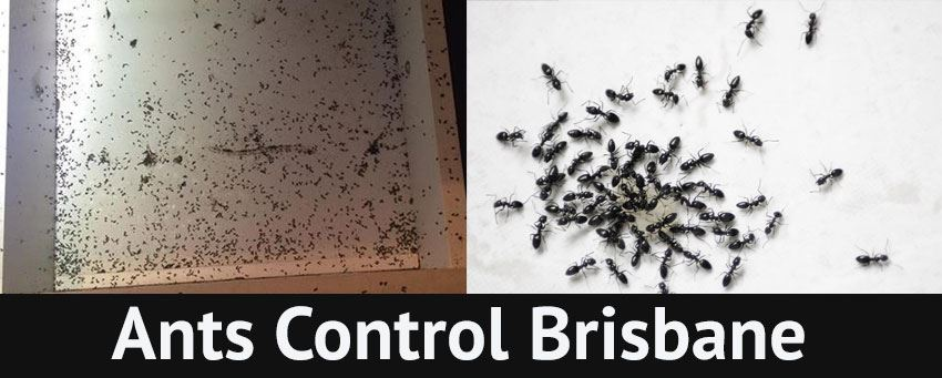 Ants Control Wallaces Creek