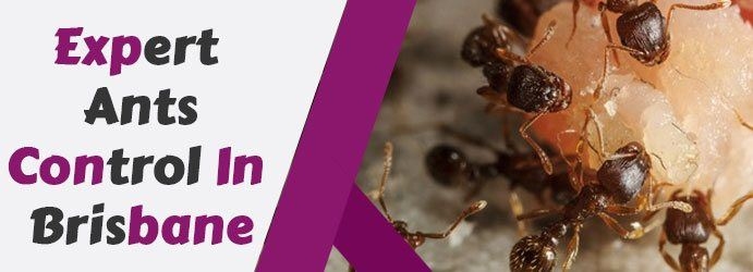 Expert Ants Control in Buddina