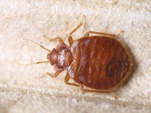 Bed Bugs Pest Control