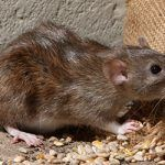 Why you Should not Manage Rodent Problems Personally?