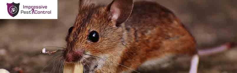 Rodent Control Service Red Hill
