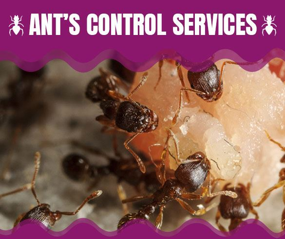 Professional Ants Control Services