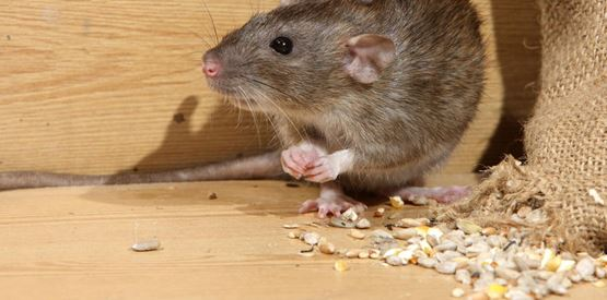 Rat & Mice Control and Removal