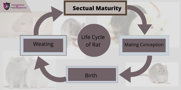 Life cycle of RAT
