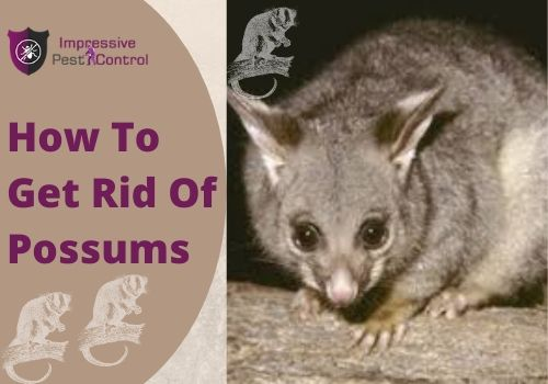 How To Get Rid Of Possum