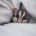 Greater Glider Possum