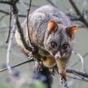 Yellow-Bellied Glider Possum