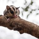 Feathertail Glider Possum