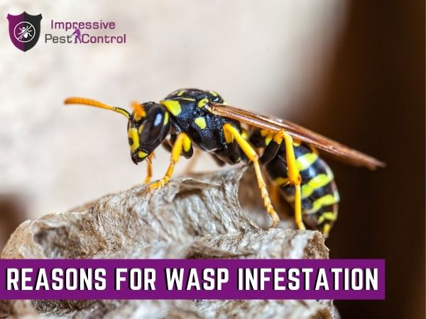 reasons for wasp infestation