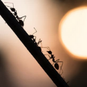 Residential Ant Control