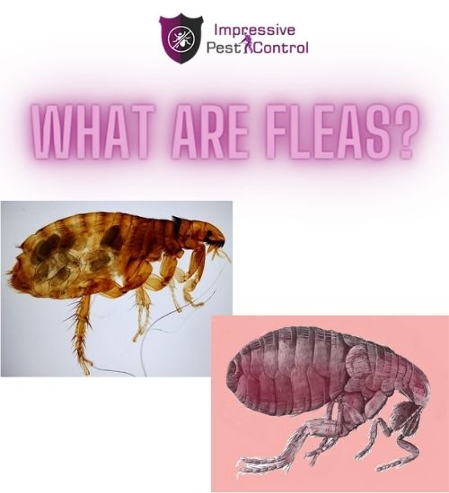 what are fleas