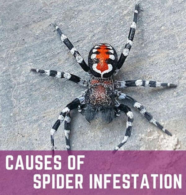 cause of spider infestation