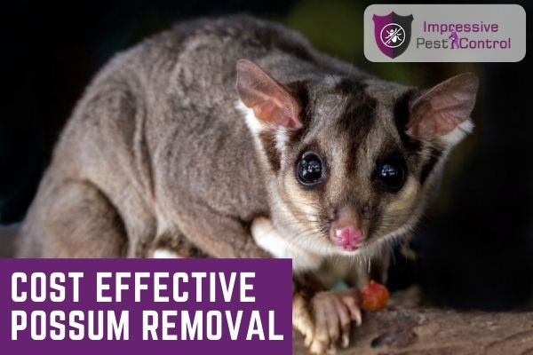 cost effective possum removal melbourne