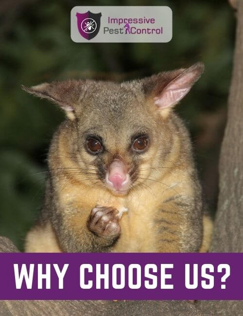 Why choose Impressive Possum Removal melbourne