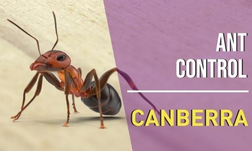 ant-control-Canberra