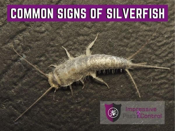 signs of silverfish