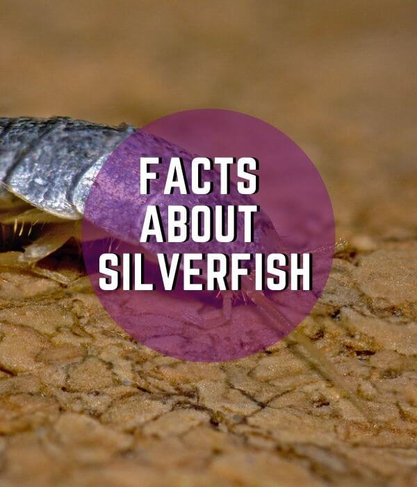 fact about silverfish