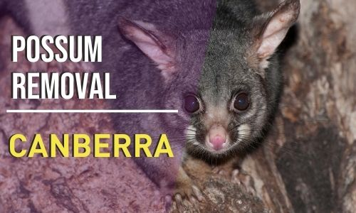 possum removal Canberra