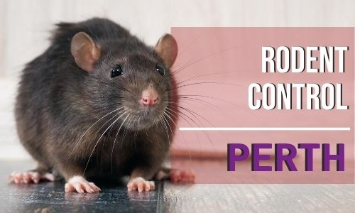 rodent control Perth