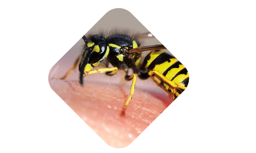 Wasps and Bees Nest Control Brisbane